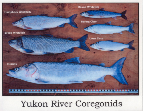 Subsistence pictures on the yukon river alaska for Alaskan white fish